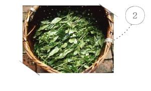 thu hoach búp trà xanh nhật bản